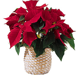 Red Poinsettia in Basket from Amy's Flowers and Gifts in Sparks, NV