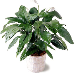 Spathiphyllum Plant in Basket from Amy's Flowers and Gifts in Sparks, NV